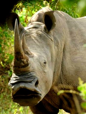 Did you know that rhino horn is made from the protein keratin? It grows just like hair and nails.