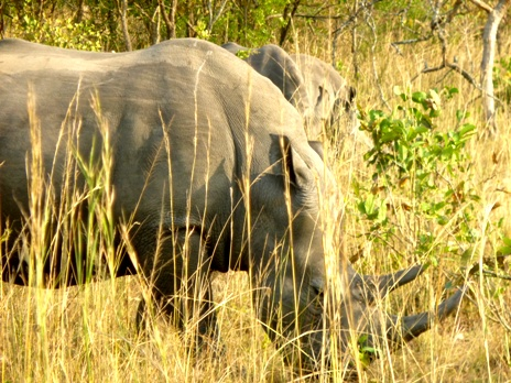Facts about rhinos: rhinos have to eat consistently during the time that they are awake. As they only eat grass and greenery, they have to consume a lot to sustain their large bulk.