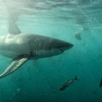 Underwater photo of a great white shark swimming in South Africa