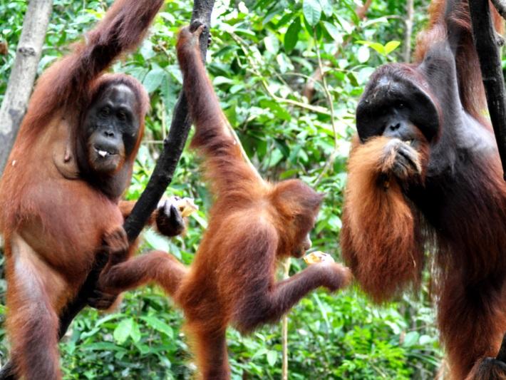 Orangutans enjoy their natural habitat in Borneo