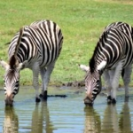 Zebras drink on the Big 5 game reserve in South Africa