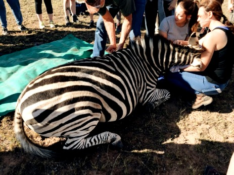Participants in South Africa help to relocate a zebra