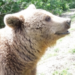 Volunteer with bears