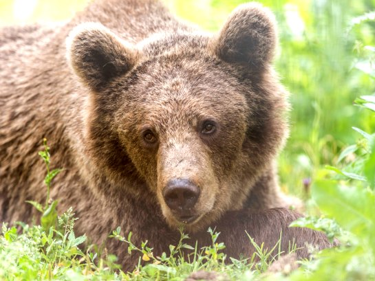Brasov is close to Eastern Europe's largest bear sanctuary, where volunteers can work with over 70 bears