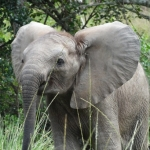 young-elephant-on-a-game-reserve-in-south-africa