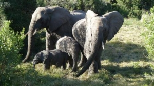 Elephants with babies at Kwantu game reserve, South Africa
