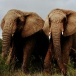 Elephants on the game reserve at Kwantu, South Africa