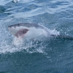Great white shark volunteering
