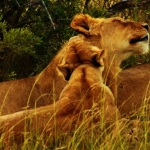 Lioness and cub at the Kwantu game reserve, South Africa
