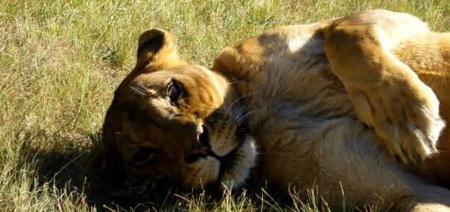 Lionsrock Lioness