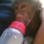 Monkey volunteering