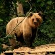 Volunteer with Bears in Romania