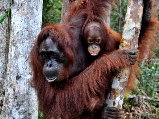 family of orangutans