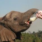 Volunteer feeding an elephant milk in South Africa