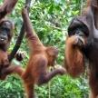 Orangutan conservation in Malaysia and Borneo