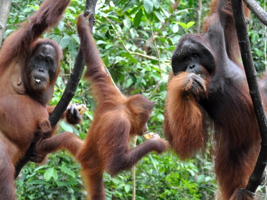 Orangutan conservation volunteering