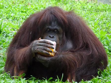 Orangutan eating in Malaysia
