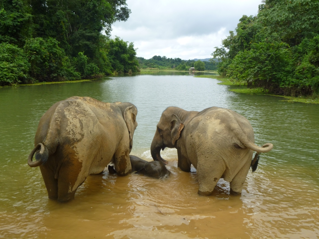 Elephant conservation in Laos