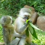 Monkey in SA