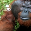 Borneo Orangutan Volunteering and Conservation