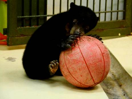 Sun bears have to have a period of quarantine after their rescue, before they are released into the semi wild