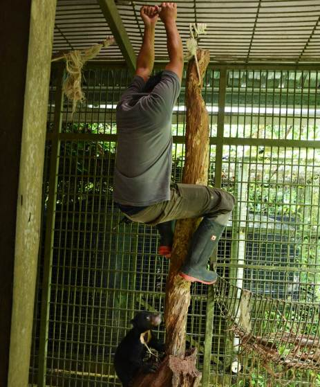 A sun bear carer teaches an orphaned sun bear how to climb. This is an essential skill for sun bears in Borneo.