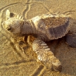Volunteer with sea turtles in Costa Rica