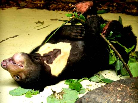 A sun bear plays relentlessly with leaves as part of her rescue and rehabilitation process