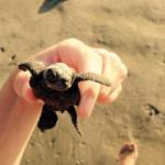 Costa Rica turtles held on beach