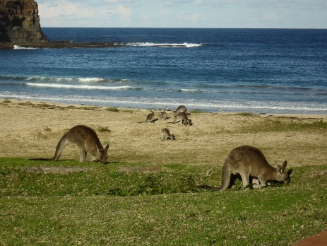 Kangaroos grazing with the ocean and beach in the background