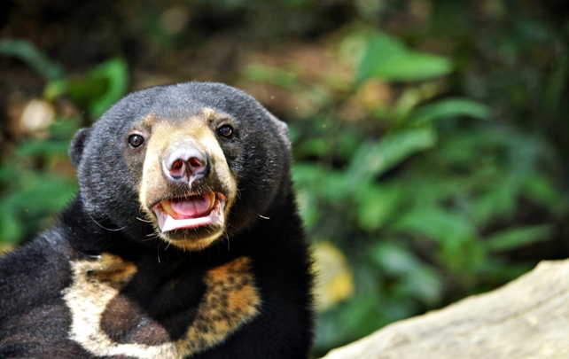 Sun bear rehabilitation