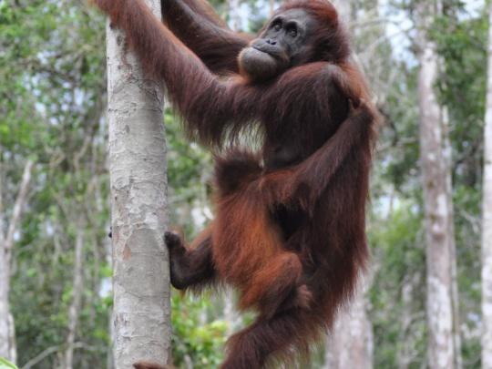 Volunteer with orangutans in Malaysia
