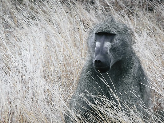 A baboon enjoys life in the wild after the release