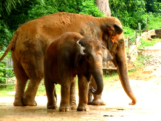 Volunteer with elephants in Malaysia