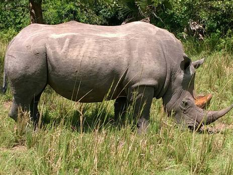 A rhino grazing peacefully in the sanctuary