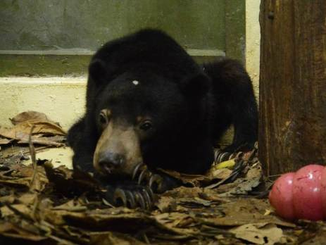 nano-the-sun bear-settling-in-to-his-new-home-at-Oyster-worldwide-volunteering-project
