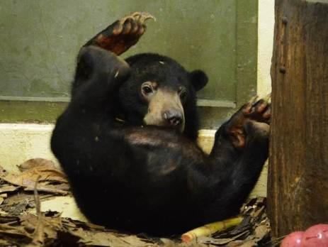 nano-the-sun-bear-exploring-his-new-environment-rolling-around-oyster-worldwide-volunteering-programme-borneo