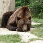 Bears in Romanian sanctuary