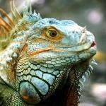 thailand wildlife conservation iguana