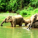 elephants in laos bathing in the river