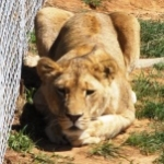 volunteering with lions