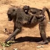 SA monkeys