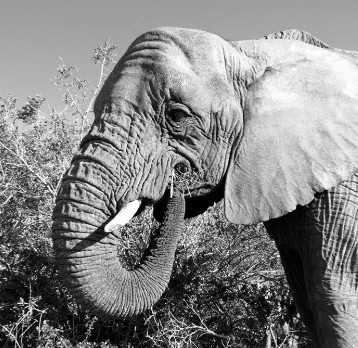 South Africa veterinary experience photo of elephant