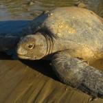 Costa rica turtle