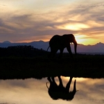 Elephant reflection in the evening, South Africa