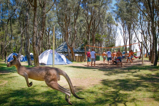 Kangaroo at campsite