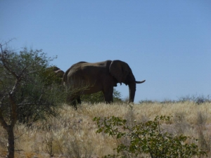Wild elephants in Namibia