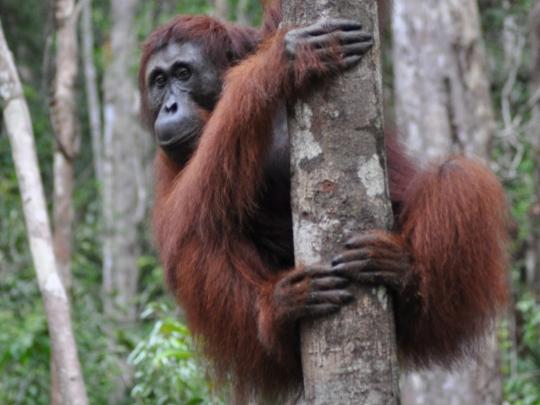 orangutan in borneo