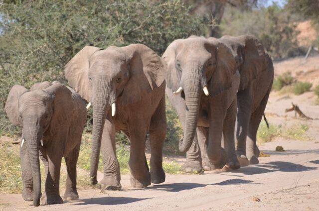 Namibia elephants