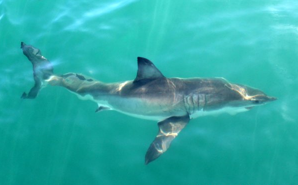 Shark Conservation Update